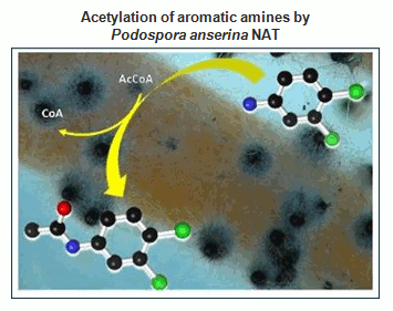 <multi>[fr] Acétylation des amines aromatiques par les NAT de Podospora anserina [en]Acetylation of aromatic amines by Podospora anserina NAT</multi>